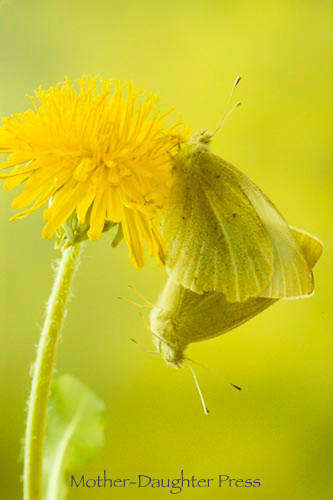 Sulfur or white cabbage butterflies mating on dandelion