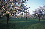 Burrow Hill cider, Apple orchards. Somerset.