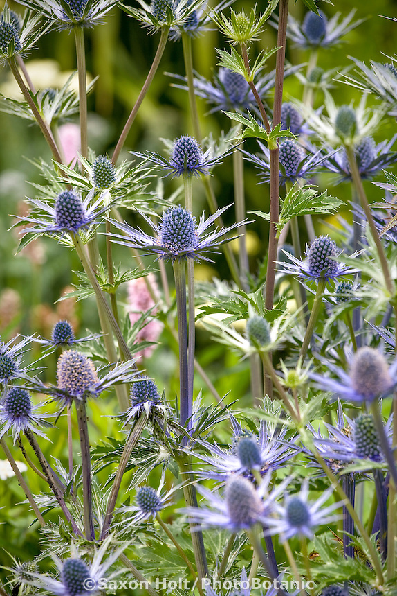Sea Holly, Eryngium 'Sapphir Blue' perennial flower in garden, Digging Dog Nursery