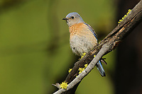 Adult female Western Bluebird (Siala mexicana). Yakima County, Washington. May.
