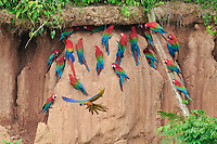 scarlet macaw, Ara macao, red-and-green macaw, Ara chloropterus, and blue-and-yellow macaw, Ara ararauna, on clay lick, Tambopata National Reserve, Madre de Dios Region, Tambopata Province, Peru, Amazonia