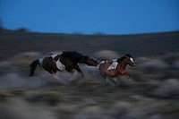 A stallion chases a maturing colt from the band in South Steens located south of Frenchglen in the high desert country. As young studs mature, they begin to challenge stallions for dominance as the mares come into season.