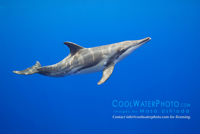 young rough-toothed dolphin, Steno bredanensis, Kona Coast, Big Island, Hawaii, USA, Pacific Ocean