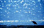 Grey Heron (Areda cinerea), on beach, small in frame, reflection on waves, West Africa, silhouette. .Gambia....