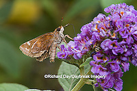03738-00305 Zabulon Skipper (Poanes zabulon) on Butterfly Bush (Buddleia davidii) Marion Co. IL
