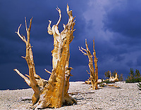 Inyo National Forest, CA <br /> Sunlight on bristlecone pines (Pinus longaeva) beneath dark storm clouds in the Patriarch Grove of The Ancient Bristlecone Pine Forest
