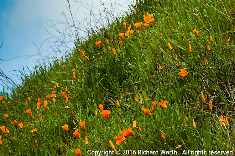 California poppies decorate a steep hill with spalshes of orange gold, along a trail at Lake Chabot Regional Park.