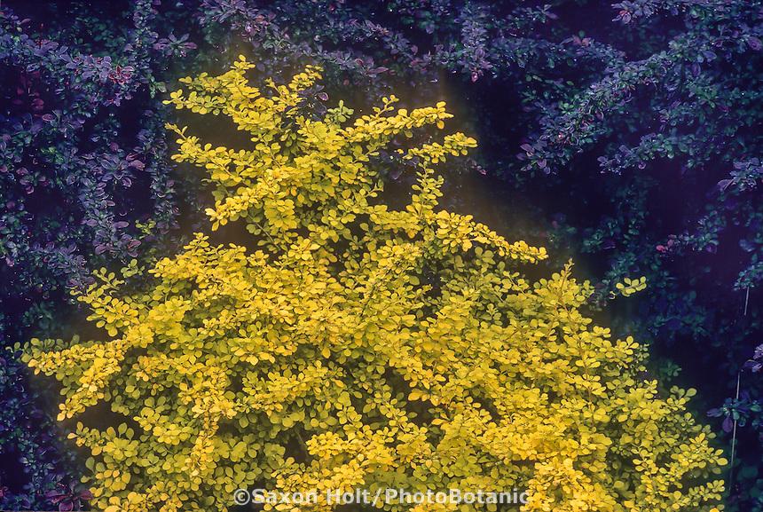 Berberis thunbergii 'Aurea' (Golden Japanese Barberry) gold foliage