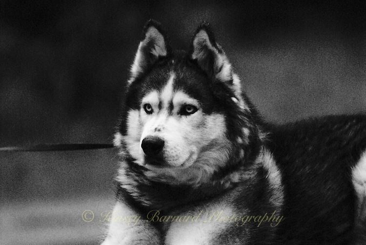 photos of siberian huskies, husky photos, pictures of siberian huskies, best photos of huskies, best photos of siberian huskies