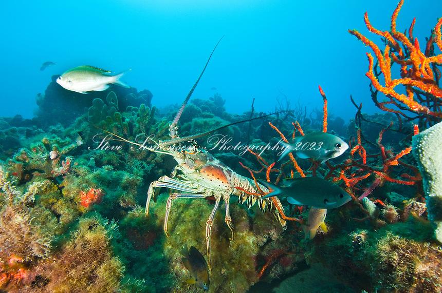 Caribbean Spiny Lobster<br /> Panulirus argus