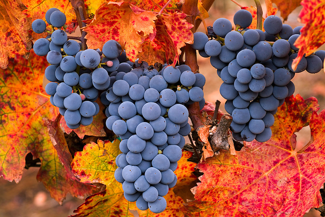 Three bunches of grapes ready for harvest with fall-colored leaf in Del Rio vineyard near Medford in southern Oregon.