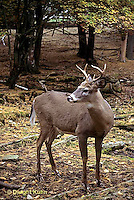 MA11-103z  White-tailed Deer - male (buck) with antlers - Odocoileus virginianus