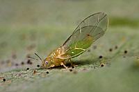 Eichen-Blattfloh, Eichenblattfloh, Trioza remota, oak leaf sucker, Blattflöhe, Blattfloh, Blattsauger, Psyllina, psyllid, psyllids