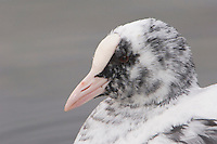 Eurasian Coot, Fulica atra, partial Albino swimming, Rapperswil, Switzerland, Europe