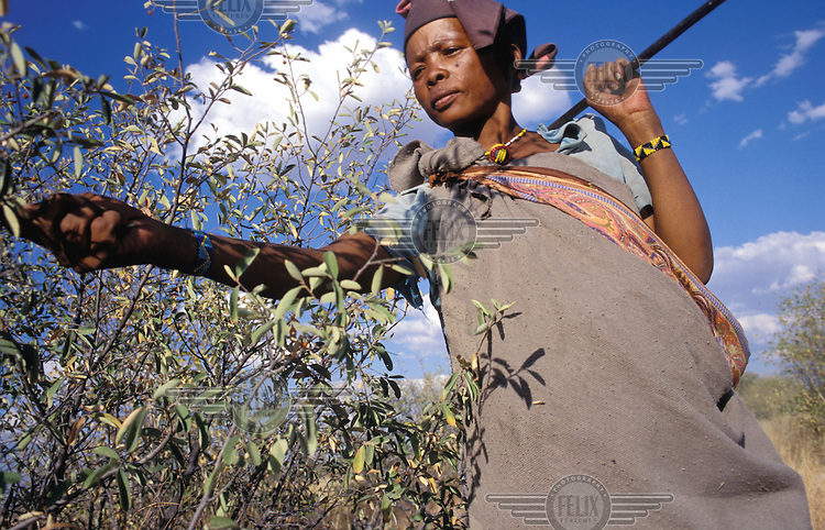 © Paul Weinberg / Panos Pictures..Collecting wild berries, Bushmanland, Namibia