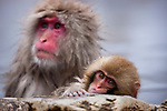 Japan, Japanese Alps, snow monkey mother and baby in hot spring