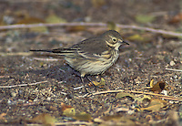 Buff-bellied Pipit - Anthus rubescens - Adult non-breeding