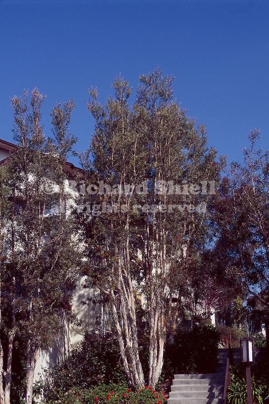 10067-CB Cajeput Tree, Melaleuca quinquenervia, multi-trunked specimen, at La Jolla, CA