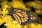 Monarch Butterfly (Danaus plexippus) lifecycle metamorphosis orange yellow flower pattern wing.USA....