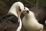 Pair of Laysan Albatross courting in Hawaii.