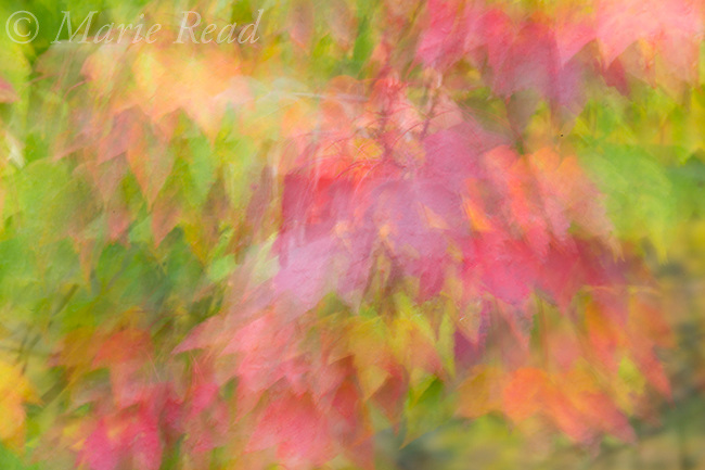 Maple leaves in autumn, abstract, New York, USA