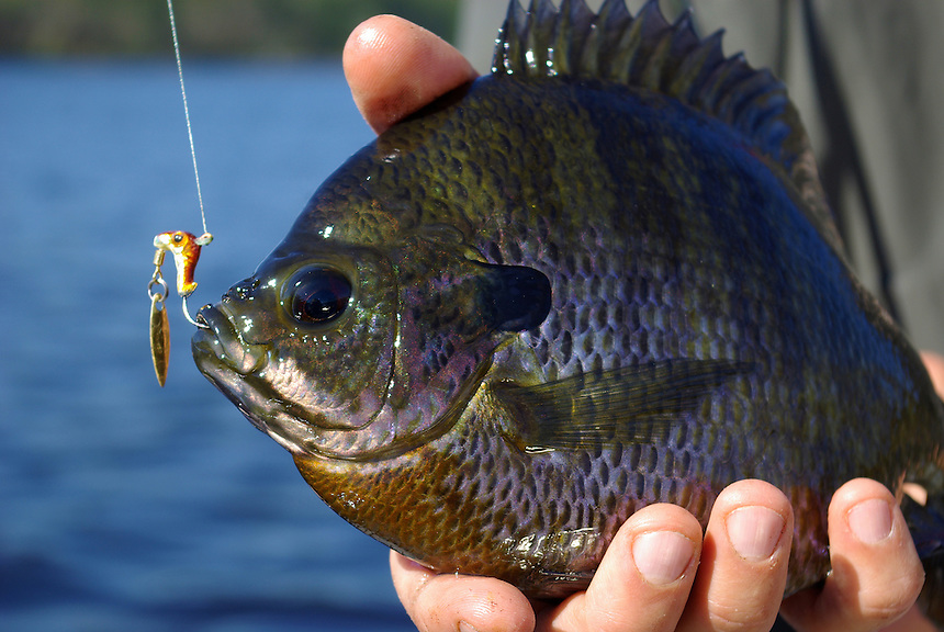 Trophy bluegill, Richmond Mill Lake near Laurel Hill, North Carolina