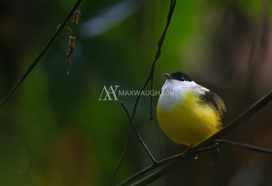 I sometimes see White-collared manakins lekking on Costa Rica's Caribbean slope.