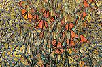 Monarch Butterfly, Transvolcanic Range, Michoacan, Mexico