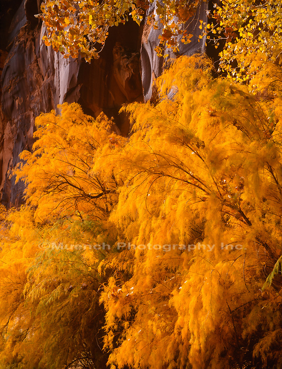 Autumn Tamarisk along Colorado River,Canyonlands National Park, Utah