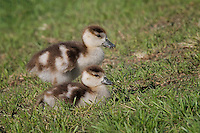 Egyptian Goslings, Inks Dam National Fish Hatchery, Burnet, TX