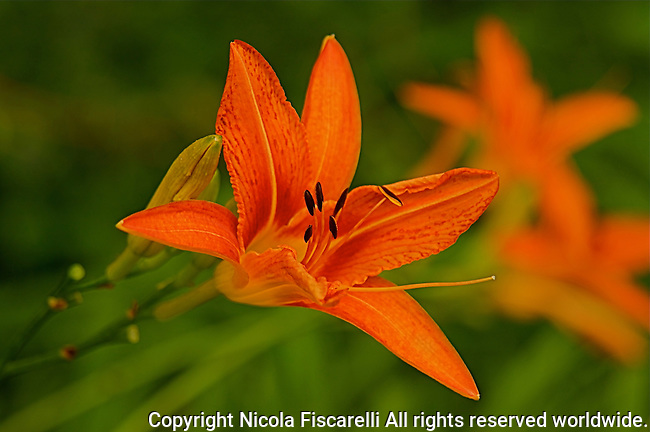 A close-up of an orange color Day Lily ( Hemerocallis fulva )   flower,with a green background.