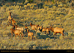 Elk Herd at Sunrise, Lower Mammoth, Yellowstone National Park, Wyoming