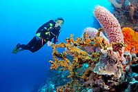 Scuba diver views sponge and coral, Bonaire, Netherlands Antilles, Caribbean, Atlantic, MR