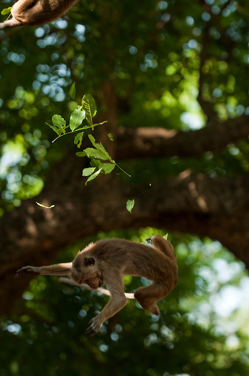 A juvenile toque macaque falls from a tree after a branch beaks in the middle of a play fight (other monkey top left). It was unharmed. Archaeological reserve, Polonnaruwa, Sri Lanka. IUCN Red List Classification: Endangered