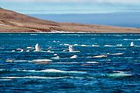 beluga whales, Delphinapterus leucas, Canadian Arctic