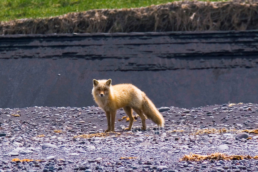 Foxes aren't native to the island. Russian fur trappers left them behind to reproduce so they could return and trap them.