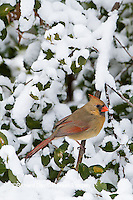 01530-21409 Northern Cardinal (Cardinalis cardinalis) female in American Holly (Ilex opaca) in winter Marion Co. IL