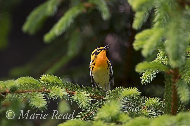 Blackburnian Warbler (Dendroica fusca) male singing, New York, USA