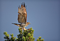 Juvenile Red-Tailed Hawk on top of a pine tree with wings aloft