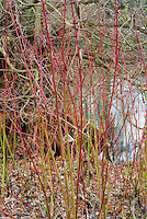 Cornus sericea subsp occidentalis Sunshine in red & green winter stems