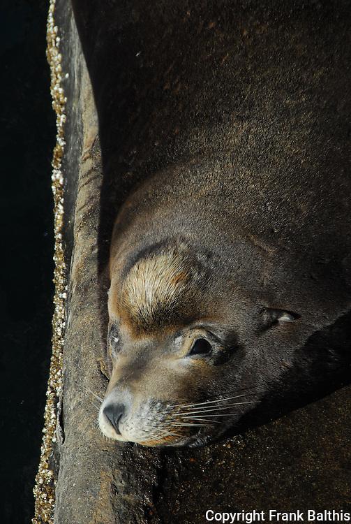 California sea lion bull