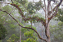 Epiphytic ferns in lowland dipterocarp rainforest canopy. Danum Valley, Sabah, Borneo, Malaysia.