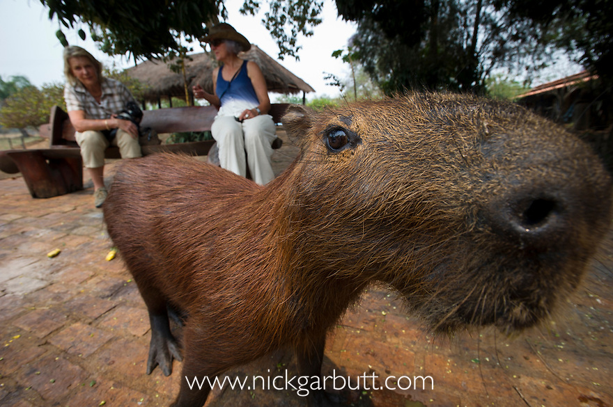 Tame wild Capybara (Hydrochaeris hydrochaeris) with tourists at Araras Lodge, Northern Pantanal, Brazil (World's largest rodent).