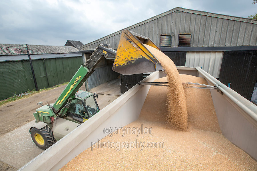 Loading wheat into a lorry tipper with a John Deere 3400 telehandler - Cambridgeshire, September