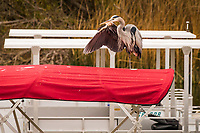 A Great blue heron stretches a wing while standing, on one leg, atop the canvas covering of a pleasure boat moored at Lake Chabot, Castro Valley, California.