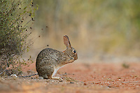 Eastern Cottontail (Sylvilagus floridanus), adult grooming, South Texas, USA