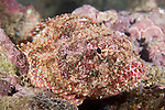 Cocos Island, Costa Rica; a Player Scorpionfish (Scorpaena histro) sits camouflaged on the rocky reef