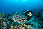 Potato cod (Epinephelus tukula) with diver