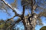 Oak tree at Elkhorn Slough