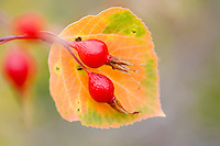 Fall colored aspen leaf and rose hip. Montana